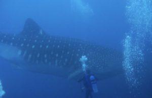 Tiburón Ballena en Galápagos